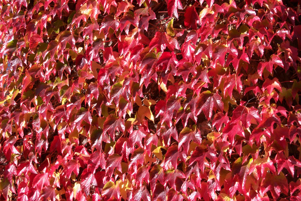 Red Leaves on a pub, Derbyshire (Autumn)